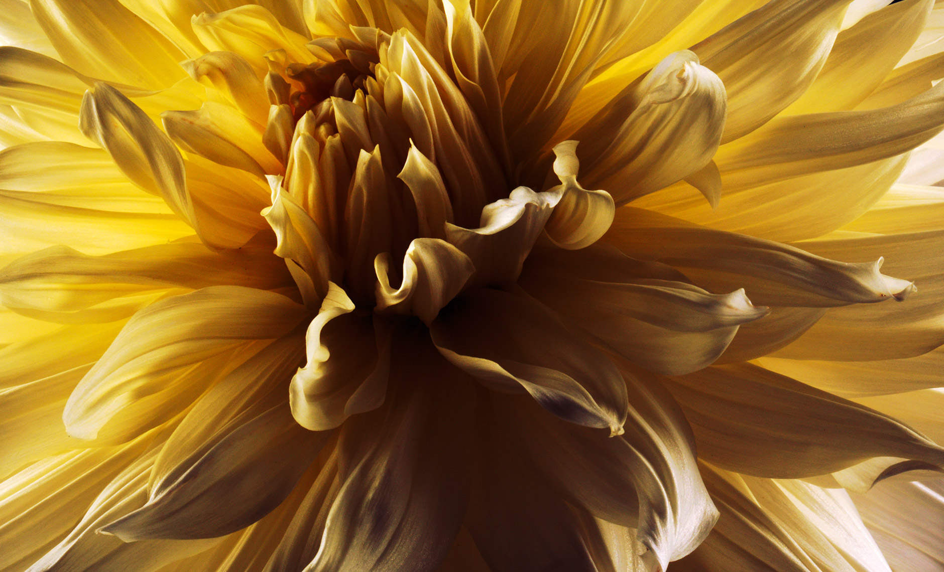 Dahlia Fine Art photograph by Peter Samuels