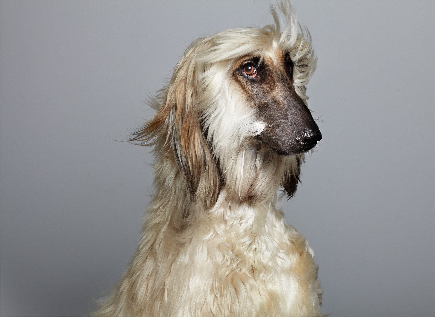 Afghan Hound Duke posing proudly by commercial animal photographer, Peter Samuels.