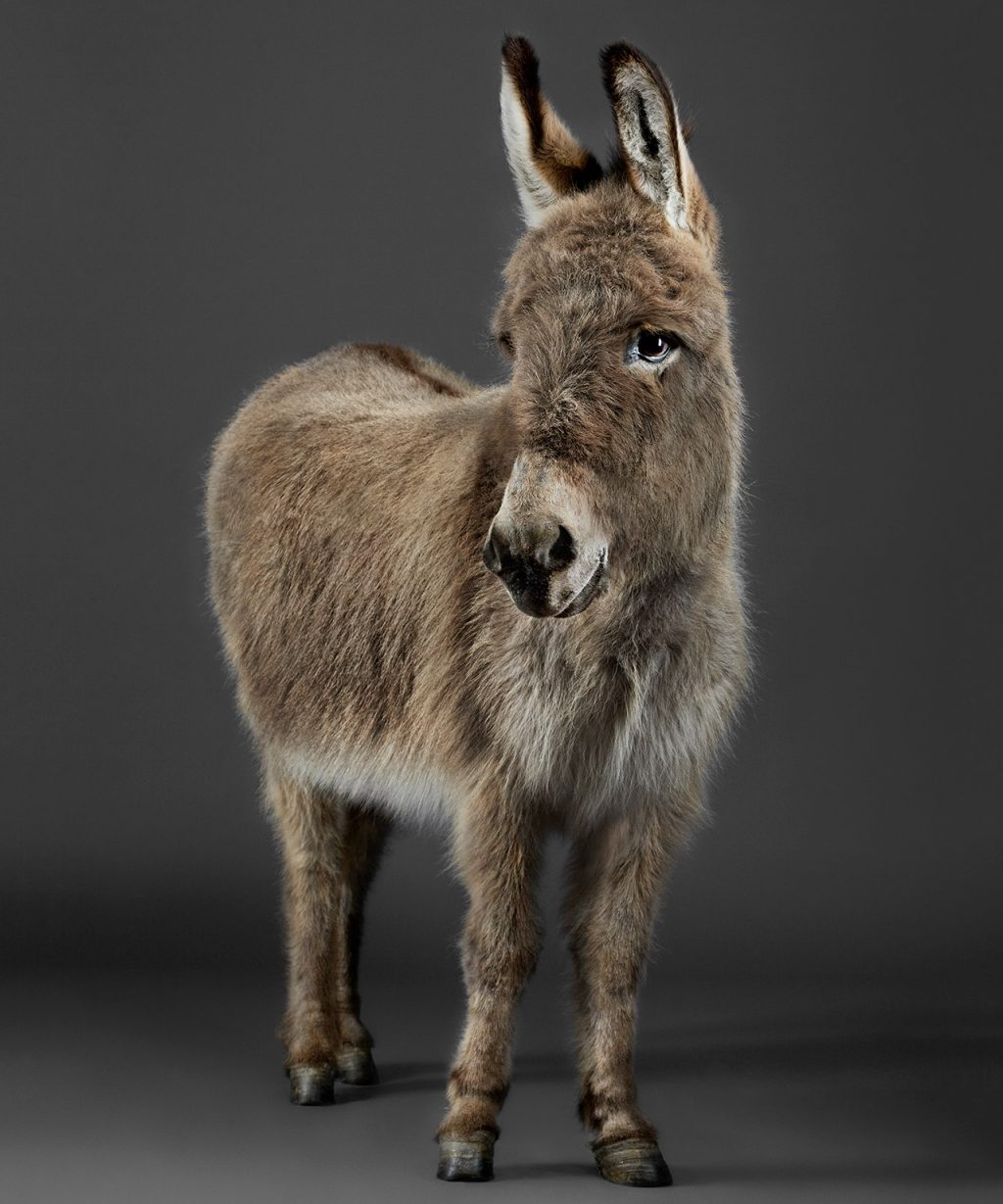 Stanley the Donkey, a fine art animal photograph
