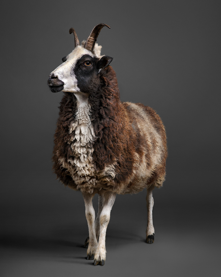 Dazzle the Jacob Sheep / Ewe photographed by fine art photographer Peter Samuels for his Fairy Tale Animals Project.