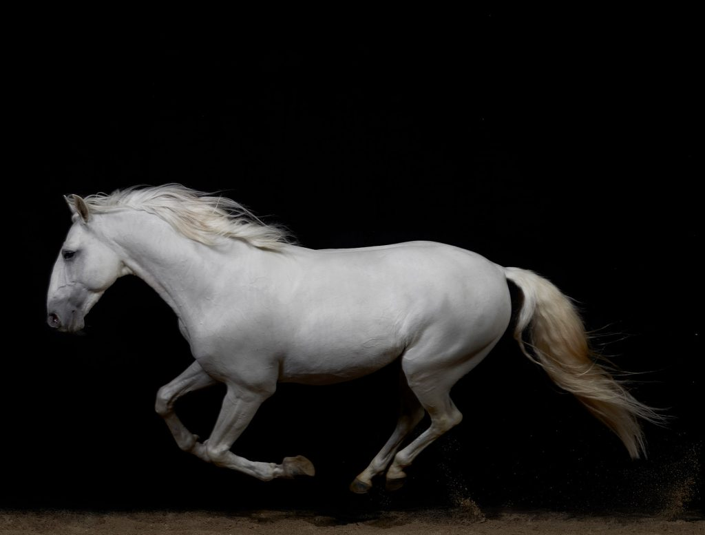 Zap Du Voga, the white Lusitano horse in stride for Peter Samuels