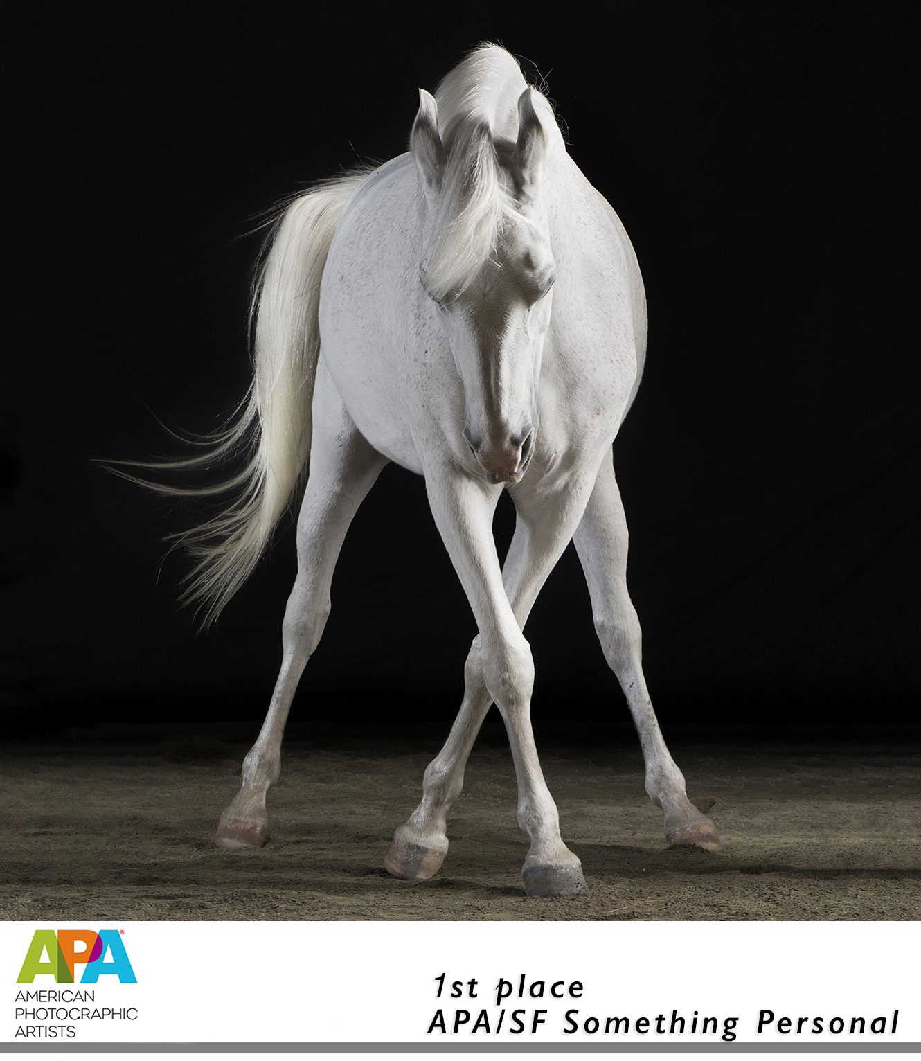 White / Gray Arabian Horse Dancing, a fine Art Equine Photograph