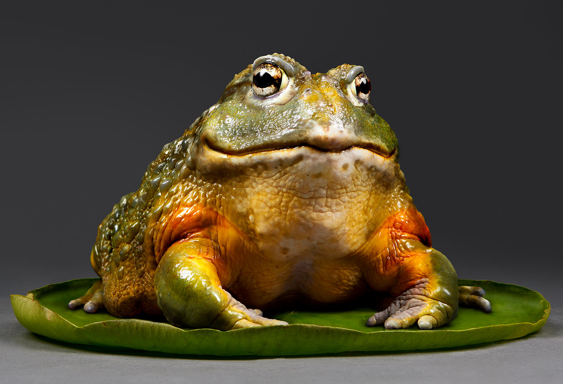 Oberman, a Pixie Frog photographed my commercial and fine art photographer, Peter Samuels, for his Fairy Tale Animals project.
