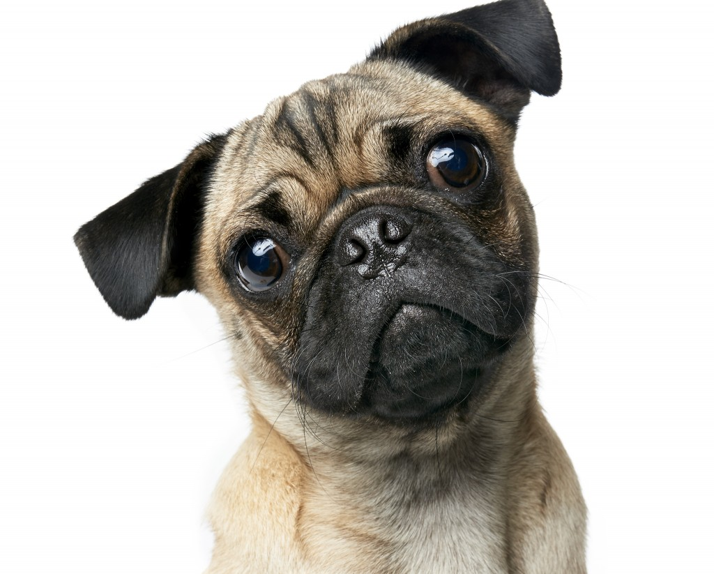 Commercial advertising animal photographer, Peter Samuels, photographs dogs, including this super cute Pug for the San Francisco based, gaming giant, Zynga.