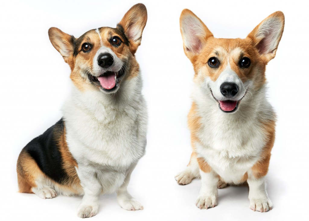 Welsh Corgi's by commercial animal photographer, Peter Samuels, for the San Francisco based, gaming giant, Zynga.