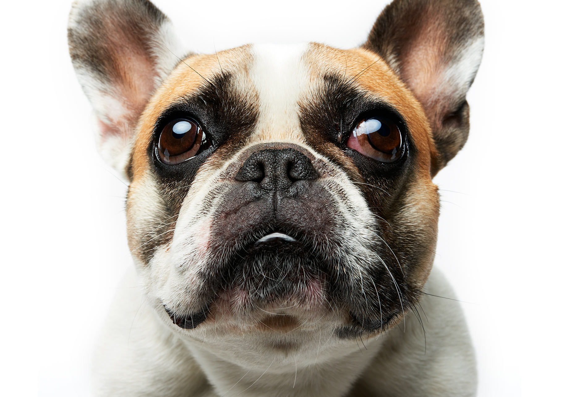 Commercial advertising animal photographer, Peter Samuels, for Zynga. Cute little French Bull Dog!