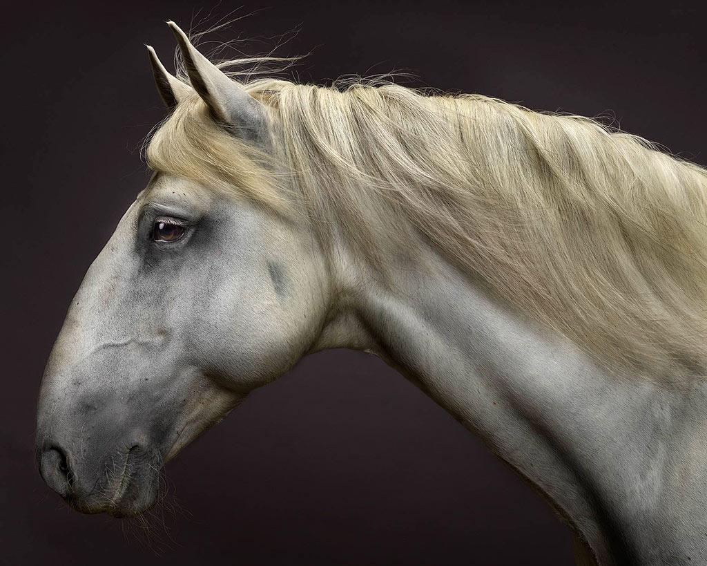 Zap Du Voga the Lusitano Stallion horse photographed for fine art and commercial work.