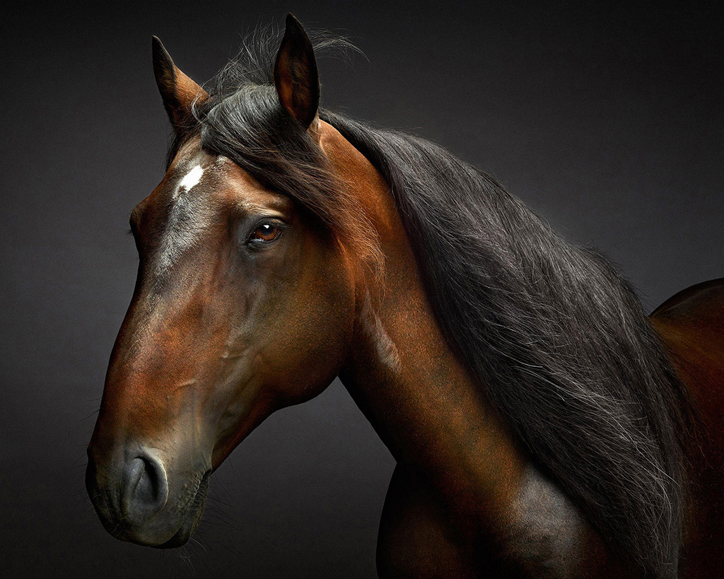 Fine Art Horse Equine Photography featuring Lusitano Stallion Portraits.